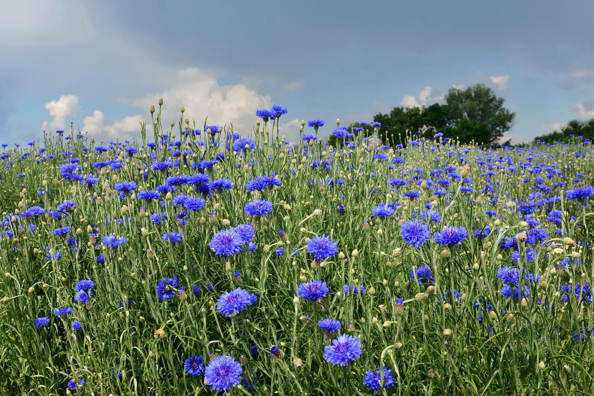 фото красивейшие васильковые поля
