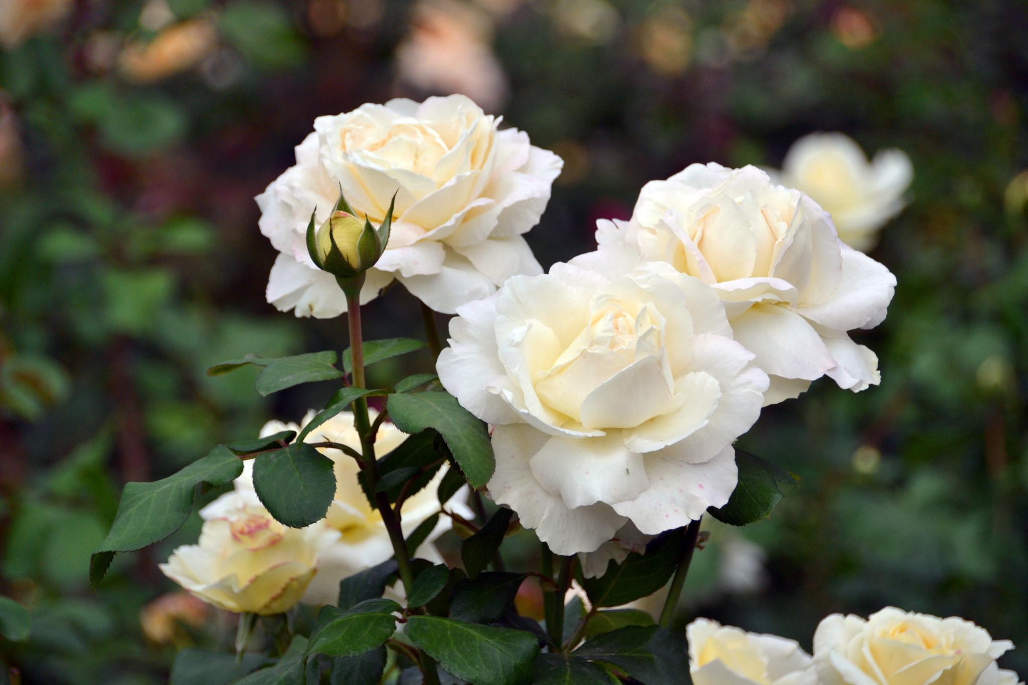 24. Чайные розы с замечательным запахом.